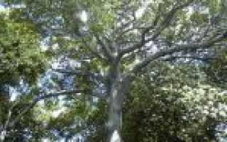 Берёза Шмидта: места произрастания и ботаническое описание, лечебные свойства, применение в промышленных целях