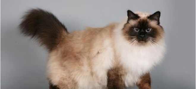Бирманская кошка – фото, описание, характер, содержание, купить