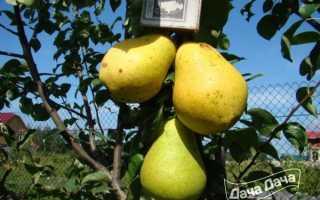 Груша Ларинская — описание сорта, фото, отзывы садоводов