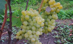 Виноград культурный 'Юбилейный'