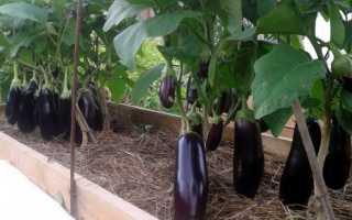 Баклажан Фабина f1: обзор сорта, его преимущества и недостатки, инструкция по выращиванию