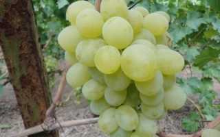 Виноград сорта Антоний Великий