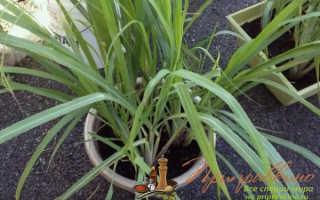 Выращивание лемонграсса в квартире