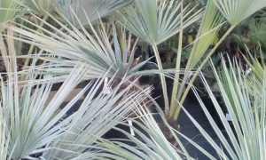 Брагея: тропическая пальма в вашем доме