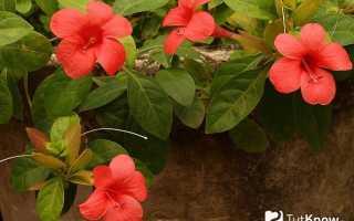 Барлерия голубая: как ухаживать за растением в домашних условиях