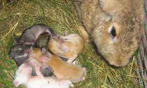 Как понять что крольчиха беременна?