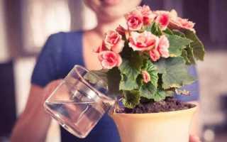 Как правильно выращивать, поливать и ухаживать за бегонией, чтобы она дольше цвела? Полезные рекомендации