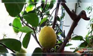 Ванильный (сладкий) лимон – выращивание сорта