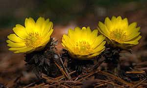 Адонис весенний: выращивание и применение растения