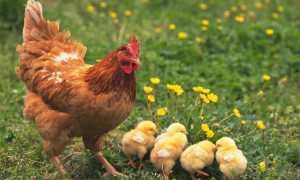 Как определить возраст курицы – различия кур по возрасту