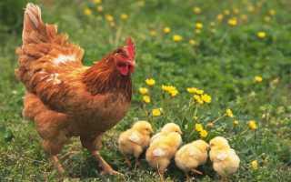 Как определить возраст курицы по внешним признакам: отличия старой от молодой