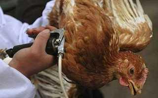 Как делать прививки цыплятам в домашних условиях + схема вакцинации