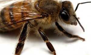 «Апимакс» для пчёл: инструкция по применению, описание и характеристика, дозировки и методы обработки