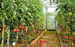 Выращивание черри в теплице, фото