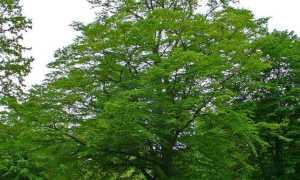 Граб (Carpinus) — описание, выращивание, фото
