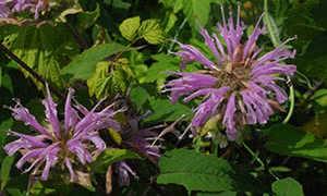 Выращивание монарды (50 фото): из семян, сорта, посадка, полив, подкормка, уход