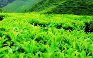 Как и где сажать чай
