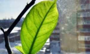 Как обрезать лимон своими руками— фото, схема, советы эксперта