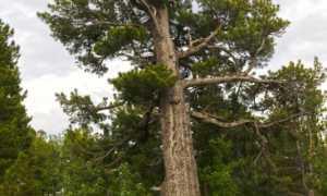 Виды кедровых сосен: фото и описание деревьев, места произрастания и применение