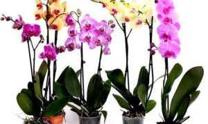 Как восстановить тургор листьев у орхидеи фаленопсис, от понятия, что это такое, до советов как