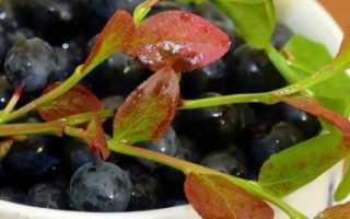 Выращивание черники в домашних условиях. Как выращивать чернику в домашних условиях — вкусные ягоды круглый год!