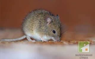 Идеи ловушек для мышей: сборка мышеловок своими руками, подходящая приманка