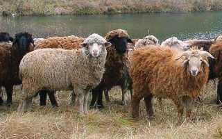 Как правильно развести овец в домашних условиях для начинающих: особенности и тонкости, условия содержания и ухода, фото
