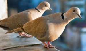 Голуби венгры как ухаживать и чем кормить в домашних условиях