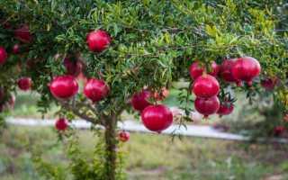 Гранат – описание, выращивание, виды, сорта, уход, где растет, фото