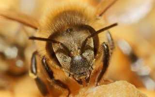 Африканизированные пчелы: как выглядят, где обитают и чем опасны?