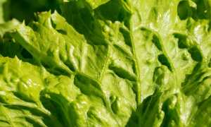 Выращивание листового салата на гидропонике