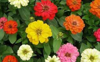 Как выращивать цветы цинии