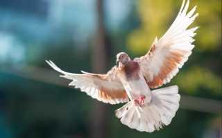 Голуби турманы: описание породы, подвиды, фото
