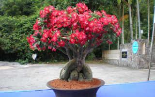 Адениум – субстрат для успешного выращивания комнатного растения, видео