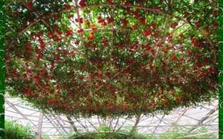 Как вырастить томатное дерево и что это такое