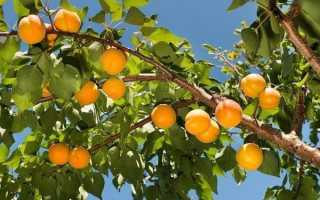 Выбираем абрикос для Подмосковья – лучшие сорта местной селекции