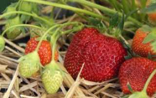 Выращивание клубники различными способами и правила основного ухода