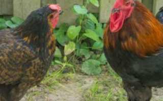 Вельзумер: порода кур – подробное описание!