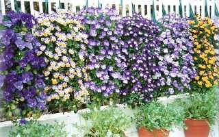 Виола ампельная, описание, выращивание, сорта, видео