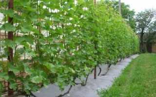Как вырастить и сохранить виноград