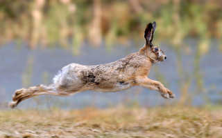 Главные различия зайцев и кроликов