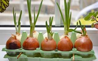 Как вырастить зеленый лук на подоконнике зимой, ЧАСТНЫЙ ДОМ