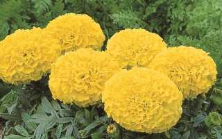 Бархатцы низкорослые: описание желтых, лимонных крупноцветковых и других сортов, их название и фото, тонкости ухода и размножения