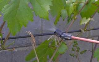 Инструкция по применению «Гиббереллина» для обработки винограда