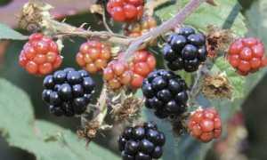 Ежевика Гималаи — описание сорта, характеристика, выращивание, фото и отзывы