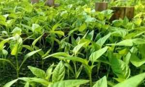 Если желтеют листья у перцев в теплице: что делать, почему листва опадает, причины проблемы и пути её решения