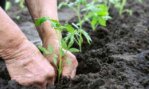 Как посадить переросшие помидоры в теплицу?