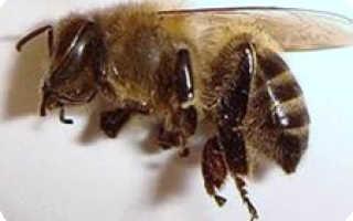 Как настоять пчелиный подмор на самогоне