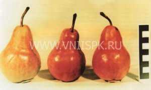 Груша «Вильямс красный» или «Руж Дельбара»: описание, фото