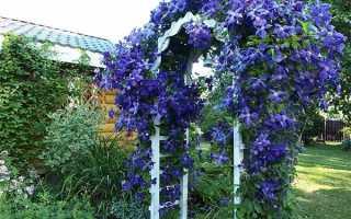 Выращивание, уход и размножение клематиса на даче